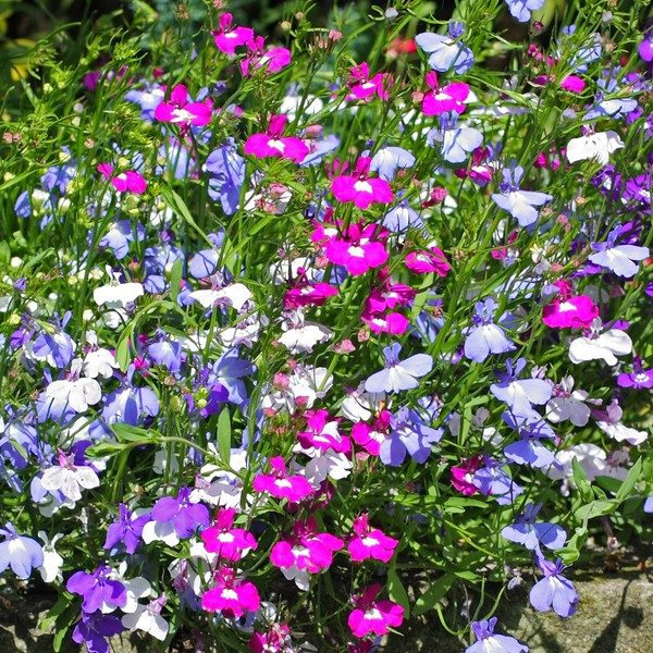 Trailing Lobelia Mixed Six Ashes Garden Center